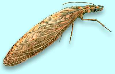 Megaloptera Larvae